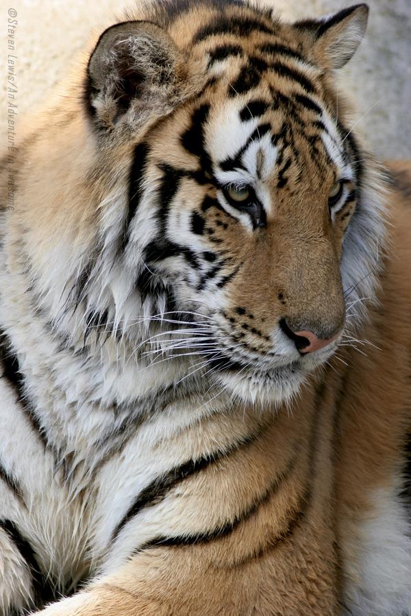 Tiger pic